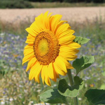Sonnenblume für die Ölherstellung
